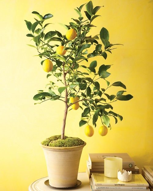 Instructions for growing indoor citrus: