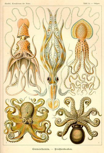 A bookplate by the incredibly quirky and gifted naturalist, Ernst Haeckel (1906).  Squid & octopi.