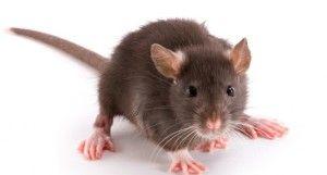 Rats, we can eat through your plastic pails.