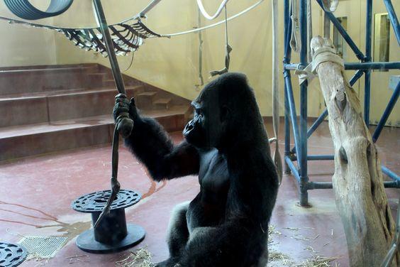 Gorillas next. Zoo.