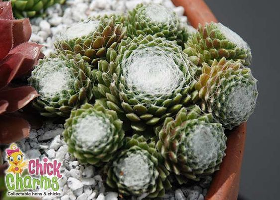 Infographic Ideas infographics sedums for sale : Chick Charms® Cotton Candy Sempervivum Hens & Chicks, Drought ...