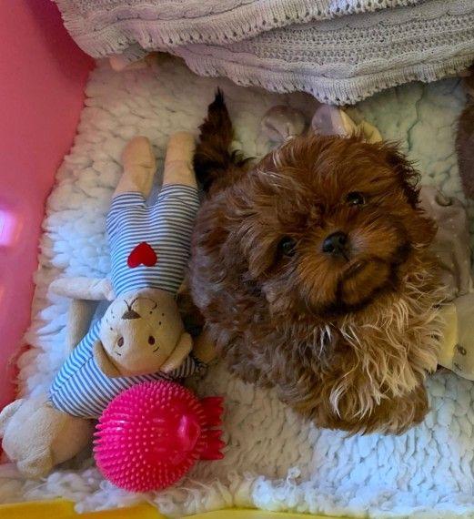 K C Reg Quality Shih Tzu Puppies Shih Tzu Puppy Shih Tzu Puppies