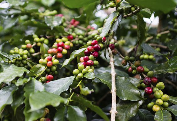 Green and Red Coffee Berries on Tree, Honduras. Top Coffee Producing Countries - WorldAtlas.com