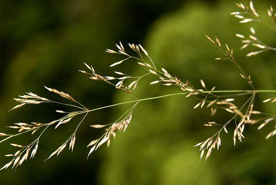SIARAM :: Agrostis