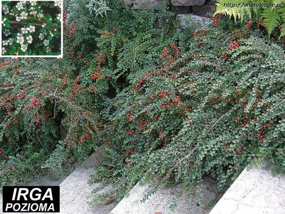 Irga pozioma (Cotoneaster horyzontalis)