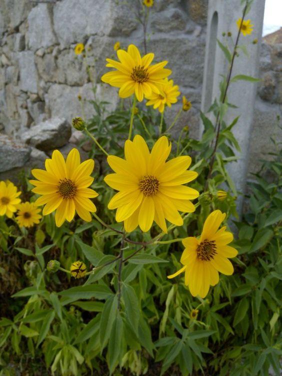 margarita gigante flores - photo #7
