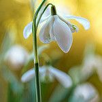 Double Snowdrop by Mandy Disher