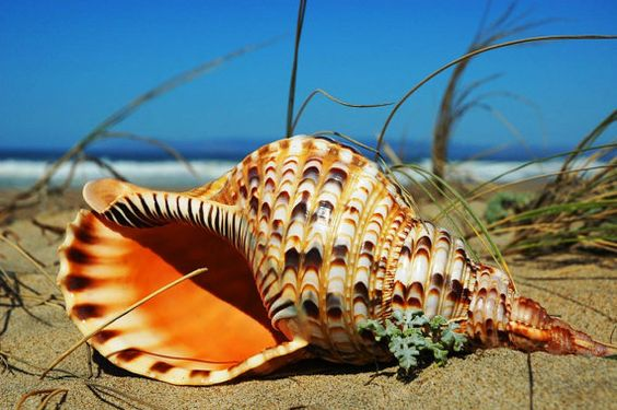 Tritons Trumpet - Macro Sea Shell-Sea Shell at the Beach-Fine Art Photography-18X24 Gallery Wrap Canvas Giclee