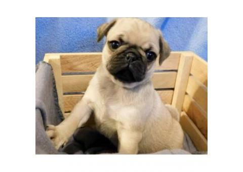 12 Week Old Male Pug Puppy Available In Houston Texas Puppies