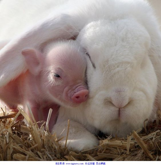 baby pig cuddling mama rabbit