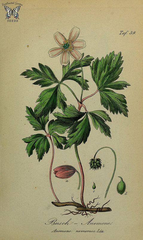 Anemone nemerosa. Sammtlich Giftgewache Deutschlands (1854)