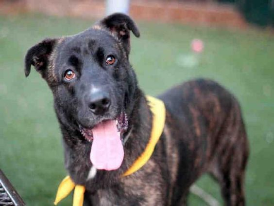 COOKIE - URGENT - L.A. COUNTY ANIMAL CARE CONTROL: CARSON SHELTER in Gardena, CA - Young Male Pit Bull/German Shepherd Mix