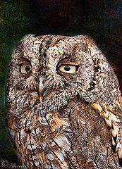 Tipo triste (FJcuenca) Tags: bird texture textura ave nocturna otusscops specanimal autillo canoneos40d fjcuenca tamron18270 commonscopsowl mygearandmepremium
