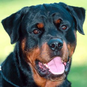 Cães raça Rottwieler