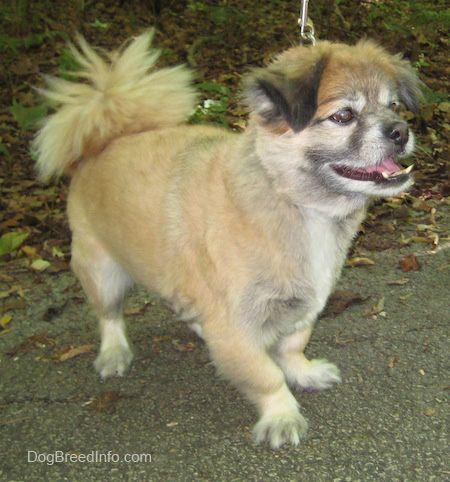 Boxer Pomeranian Mix Pitbull pomeranian mix full grown cute puppies ...
