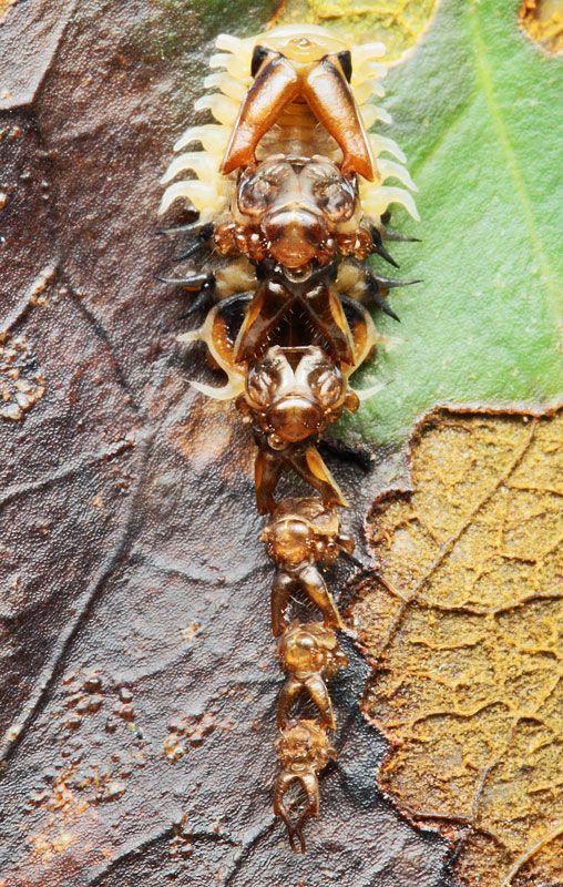 第73回 頭をいくつもくっつけた奇妙な虫を発見 奇妙な生き物 虫 節足動物