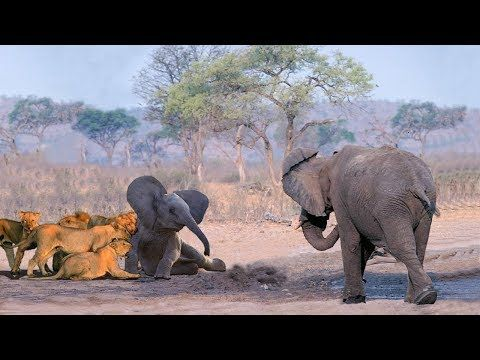 Mother Elephant Protect Her Baby From Pride Of Lion Hunting Best Animals Saves Youtube