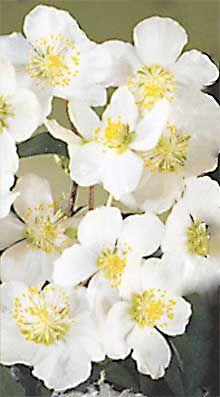 Gärtnerei Naturwuchs -- Helleborus - Christrosen -- Helleborus niger…