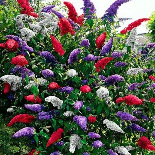 Deren Jadalny Shumen Bardzo Duzy 3 Cm Owoc In 2020 Plants Garden Allegro