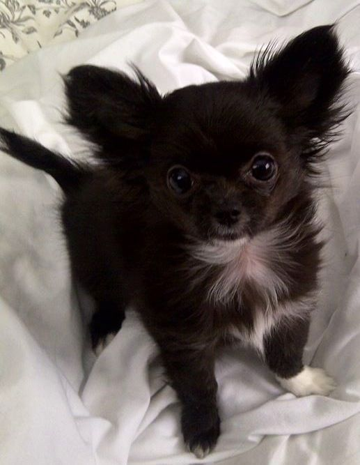 So So So Cute Chihuahuaaccessories Chihuahua Puppies Baby