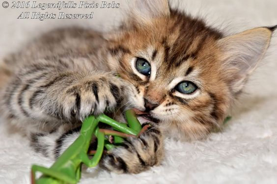 Ten - Tica Reg - Pedigree Pixie Bob Kittens | Southend On Sea ...