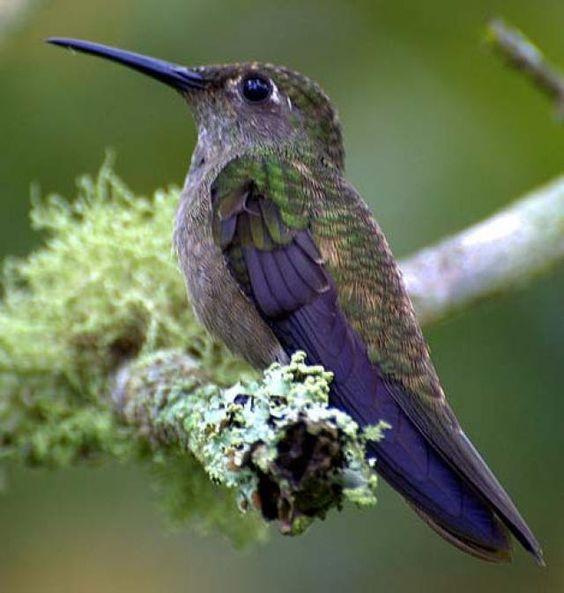 Colibrí ruiseñor (Campylopterus curvipennis) Es nativo de Belice, Guatemala, Honduras y México donde vive en bosque tropical y subtropical de tierras bajas y bosque muy degradado.