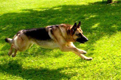 German Shepard running!