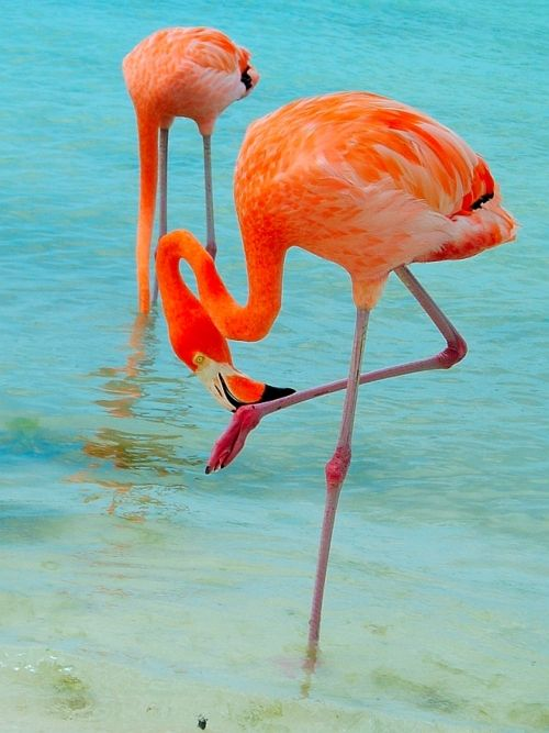Flamingos are usually thought of as pink birds, but they can display bright coral or red plumage as well. Flamingos are wading birds that live in semi-tropical habitats. The flamingo's color comes from beta-carotene in the shrimp or plankton that it eats. A brightly colored flamingo is healthier than a dull-colored one. Thus, the brighter the plumage, the more desireable a mate they are.