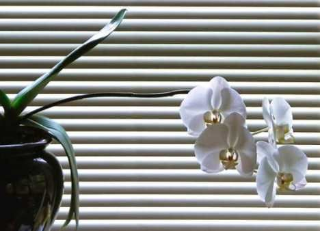 window blind orchid