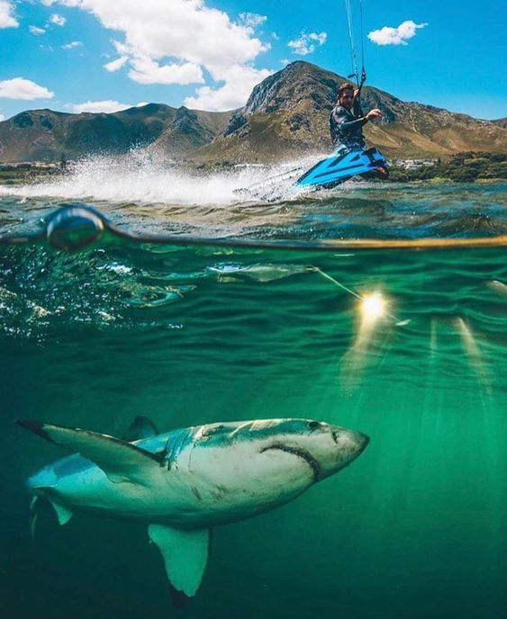 人間を狙う海中のホホジロザメ