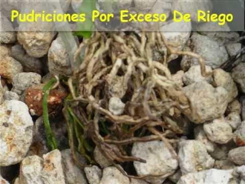 Orquidea malita pudrici n en corona hojas cayendo y - Como transplantar cactus ...