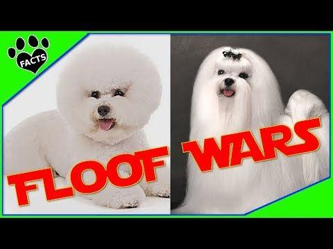 Maltese Vs Bichon Frise Dog Vs Dog Which Is Better Animal