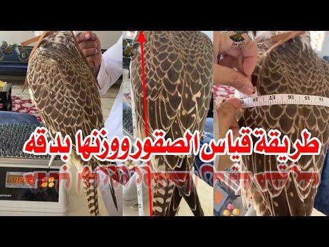 طريقة قياس الصقور الشاهين بدقة وسهوله Youtube Falcon Hunting Hunting