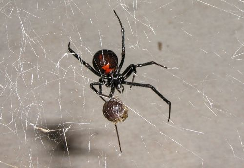 Related Image Black Widow Spider Spider Eating Spider