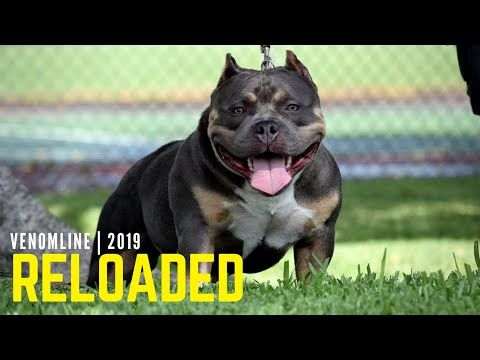 Venomline Texas Size Bullies Youtube With Images American Bully Bullying Pocket Bully