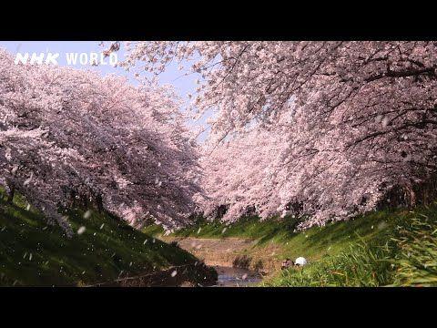 Sakura Youtube In 2020 Cherry Blossom Japanese Calendar Yamato