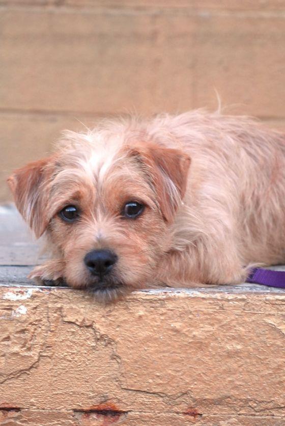 Adopt Annie On Petfinder Terrier Mix Dogs Terrier Mix Norfolk