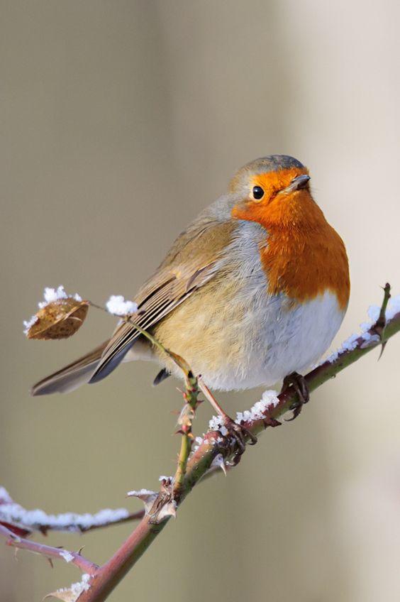 European robin by Lee Adcock