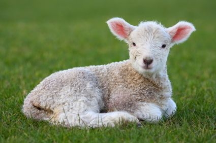 images of lambs | lamb - photo/picture definition - lamb word and phrase image