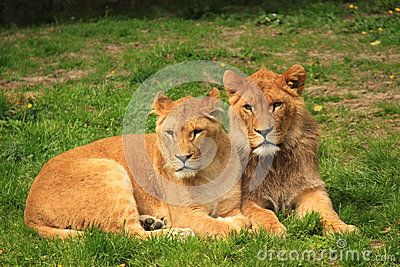 Male lion and female lion resting next to each other in the green grass.
