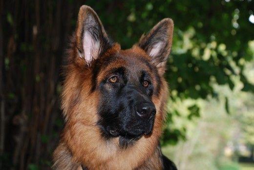 Clicker Training For German Shepherd Dogs Germanshepherd German