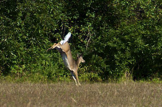 Cerf de Virginie (chevreuil) femelle