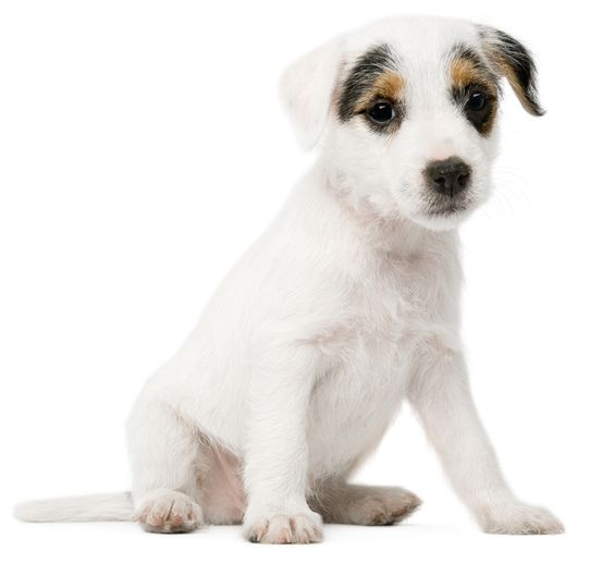White dog background dogs pinterest voltagebd Choice Image