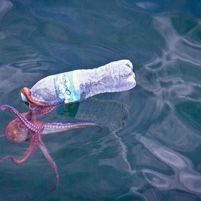 At first glance, this photo of an octopus seemingly drinking from a water bottle looks amusing. However, the image is a stark reminder that pollution in our marine ecosystems, particularly plastic, isn't very funny. (Photo Credit: Unknown)