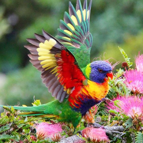 Rainbow Lorikeet http://instagram.com/shelleys_travels