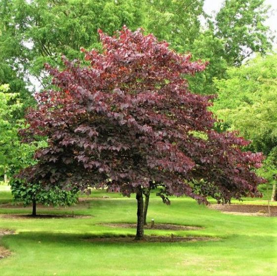 Forest Pansy Redbud Buy At Nature Hills Nursery Redbud Tree Flowering Trees Small Ornamental Trees