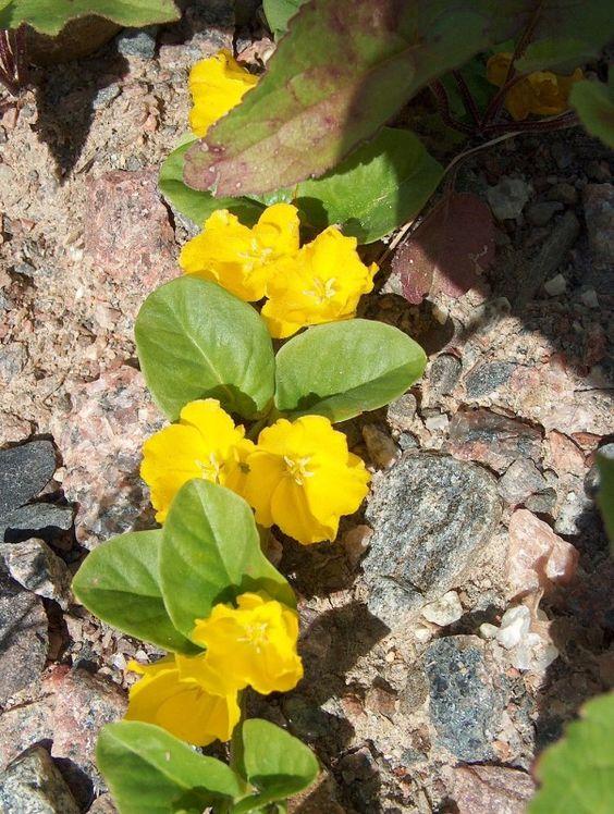 Die Blätter des Pfennigkrauts sind rund und groß wie ein Pfennig. Es kann dir Durchfall, Rheuma, Haut- und Zahnfleischproblemen helfen …