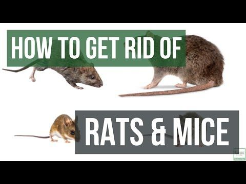 How To Get Rid Of Mice In Your House Amazing Tips For Getting Rid Of Mice Naturally Rodents Youtube Getting Rid Of Rats Getting Rid Of Mice Dogs Pooping