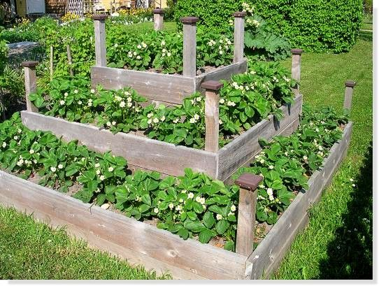 plantera jordgubbar