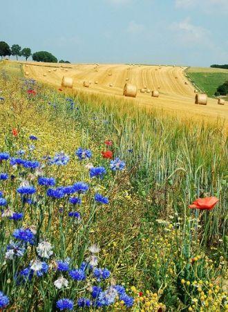 des #champs de #blé en Belgique #campagne